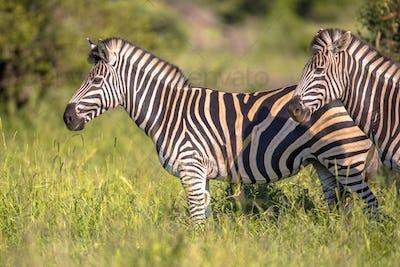 Common Zebra on green savanna