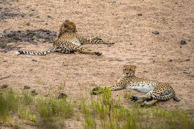 two Cheetah resting