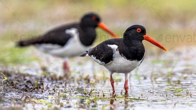 Pied Oystercatcher bird couple on river bank