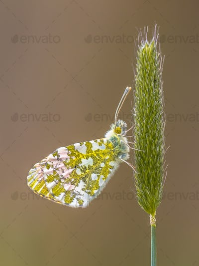 Orange Tip Butterfly resting