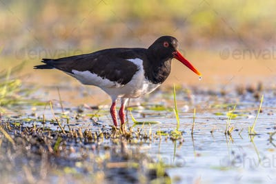 Pied Oystercatcher on river bank
