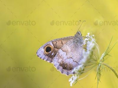 Tree grayling butterfly