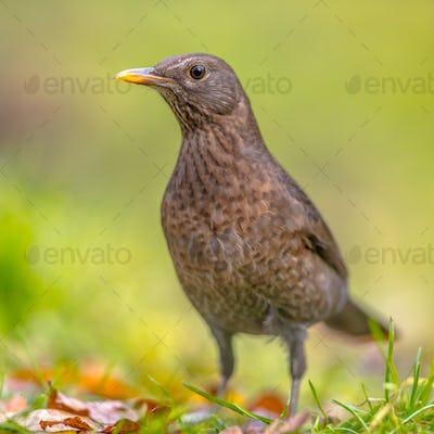 Female blackbird green backgound