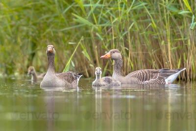 Greylag goose family