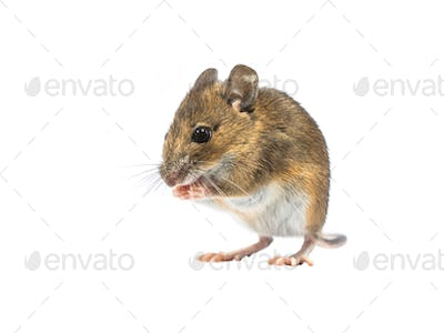 Devotive mouse isolated on white background