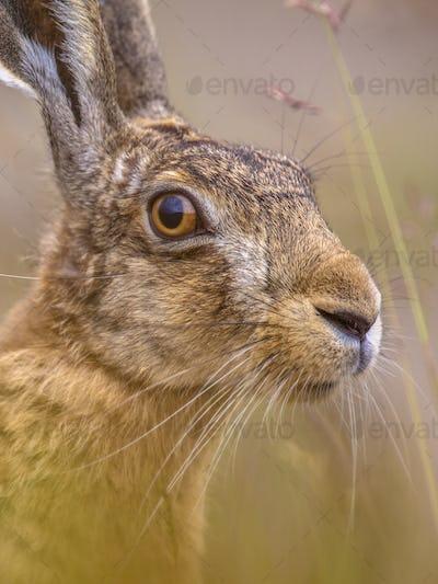 Close up Portrait of vigilant European Hare in grass