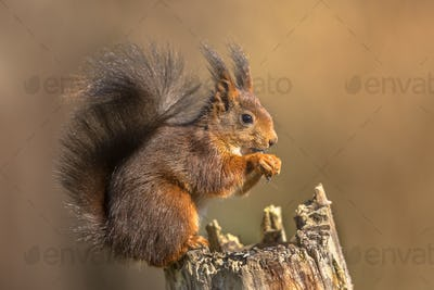 Red squirrel eating on trunk