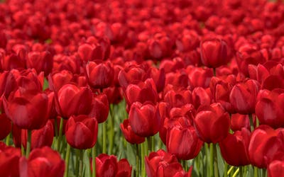 Tulip field scene wallpaper
