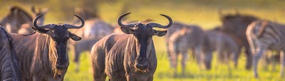 Common Wildebeest herd grazing panorama