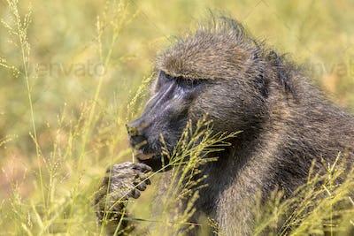 Chacma baboon feeding on seeds of grass
