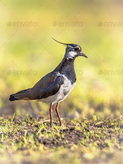 Northern Lapwing standing on green background