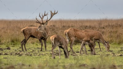 Buck deer guarding hinds