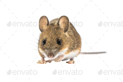 Looking mouse isolated on white background