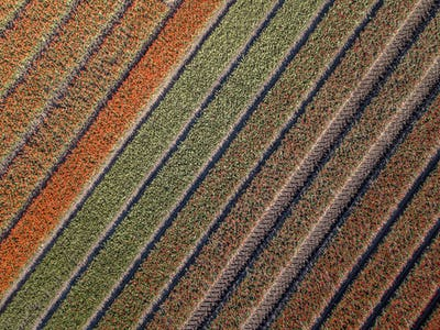 Aerial view Tulip field