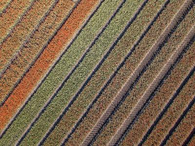 Aerial view Tulip field