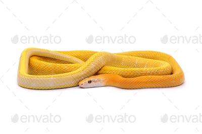 Rat snake albino isolated on white background