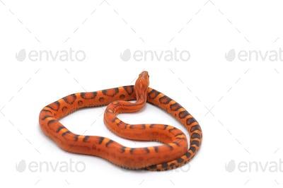 scaleless corn snake isolated on white background