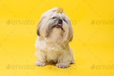 Cute shih tzu is sitting on the yellow background. Shih Tzu the Chrysanthemum Dog