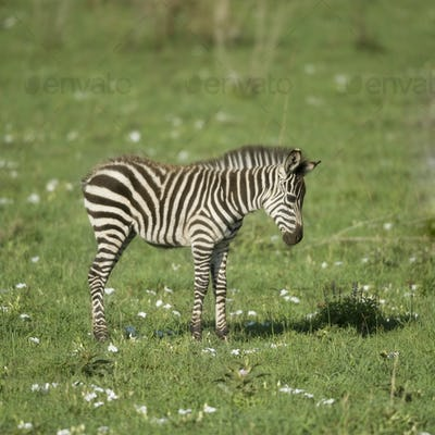 young zebra in the Serengeti