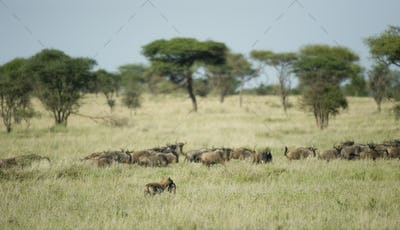 herd of wildebeest in front of a hyena