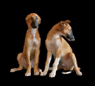 Two puppys of Russian borzoi
