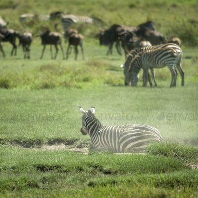 herd of zebra in the Serengeti