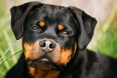 Funny Young Black Rottweiler Metzgerhund Puppy Dog Close Up Port
