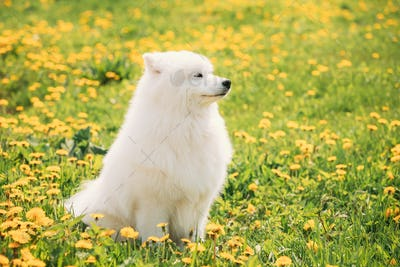 Funny Young Happy Smiling White Samoyed Dog Or Bjelkier, Sammy S