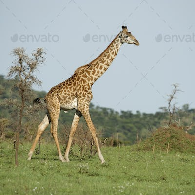 Girafe in the Serengeti