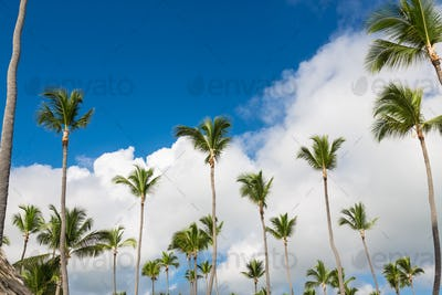 Tall green coconut palm trees standing in bright blue tropical sky
