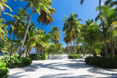 Sand road through the coconut palms and jungle. Dominican republic