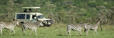 zebras passing in front of 4X4