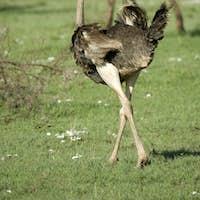 ostrich in the serengeti