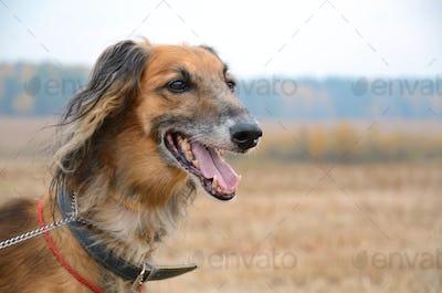 Portrait of wolfhound dog