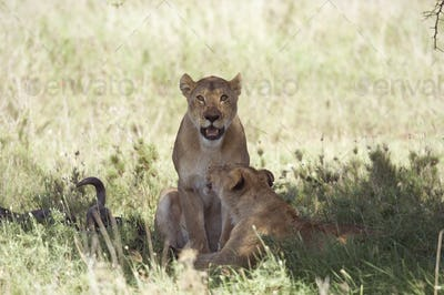 Couple of lioness