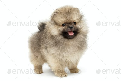Little puppy Pomeranian Spitz