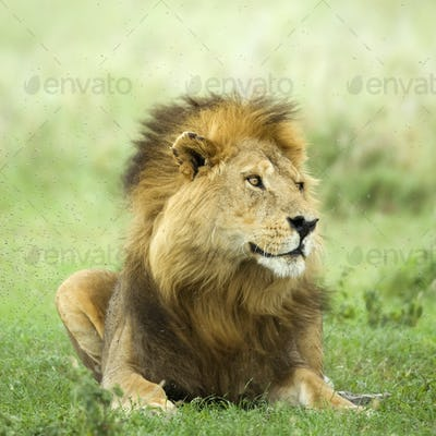 Lion lying down in the grass in the Serengeti reserve