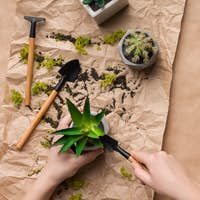 Woman planting succulents in pots on craft paper