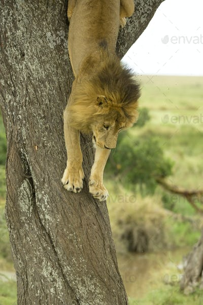 Lion going down a tree