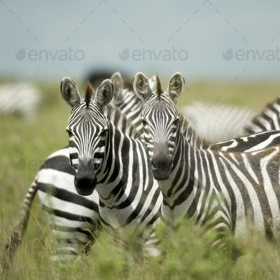 Zebras looking at the camera in the serengeti