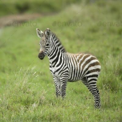 young zebra in the serengeti plain