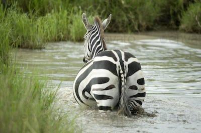 Zebra in the water