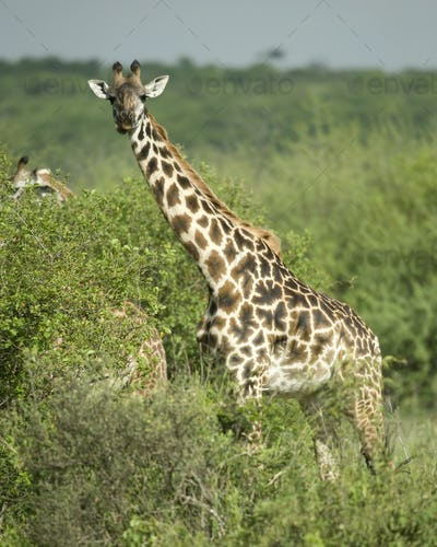 Girafe eating in the serengeti reserve