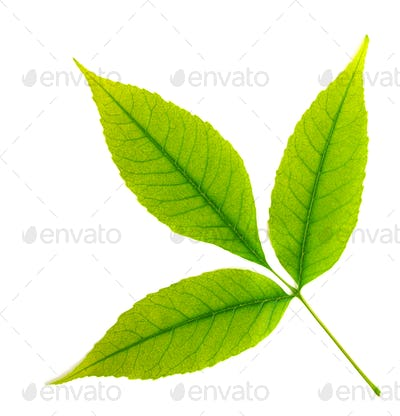 Isolated green leaf of tree.