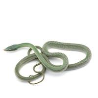 Vietnamese longnose rat snake isolated on white background