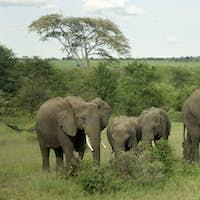Herd of elephant in the serengeti plain