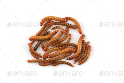 the larva of a beetle isolated on white background