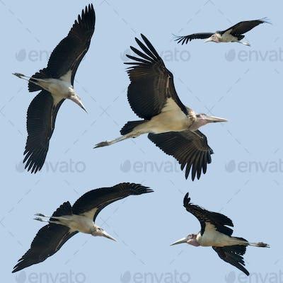 Set of Leptoptilos flying