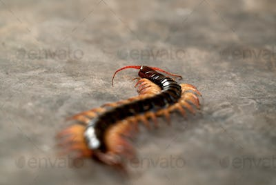 giant centipede on cement floor