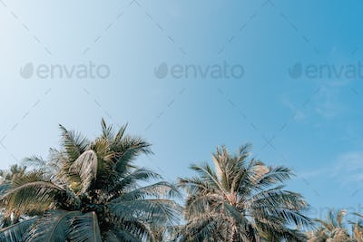 Beautiful outdoor nature with coconut palm tree and leaf on blue